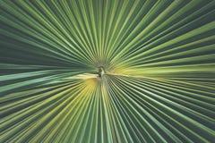 Свежие зеленые лист ладони для использования текстуры и предпосылки Стоковые Изображения