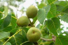 Свежие зеленые молодые плодоовощи грецкого ореха на ветви дерева с листьями Стоковые Фото