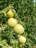 Свежие зеленые незрелые томаты на заводе Зеленый томат Heirloom стоковое фото