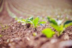 Свежие зеленые растения на поле земледелия стоковые изображения rf