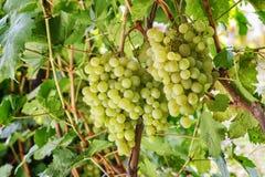 Свежие зеленые виноградины на лозе Стоковая Фотография RF
