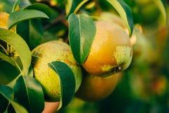 Свежие зеленые груши на ветви грушевого дерев дерева, пуке Стоковые Изображения