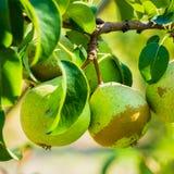 Свежие зеленые груши на ветви грушевого дерев дерева, пуке Стоковое фото RF