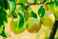 Свежие зеленые груши на ветви грушевого дерев дерева, пуке Стоковое Фото