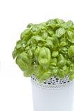 Свежие зеленые листья базилика Стоковая Фотография