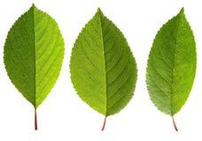 Свежие зеленые листья вишни, изолированные на белой предпосылке Стоковые Изображения