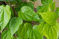 Свежие зеленые лист бетэла Стоковое фото RF