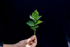 Свежие зеленые лист завода картошки Стоковые Изображения