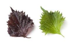 Свежие зеленые и красные лист shiso стоковые изображения rf