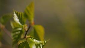 Свежие зеленые маленькие листья растут на ветви дерева сток-видео