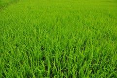 Свежие зеленые поля риса Стоковое Изображение RF