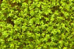 Свежие зеленые травы Стоковая Фотография RF