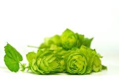 свежие зеленые хмели Стоковая Фотография RF