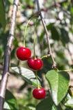 Свежие зрелые вишни на ветви в саде Стоковое Изображение