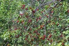 Свежие зрелые вишни на ветвях в саде стоковые фото