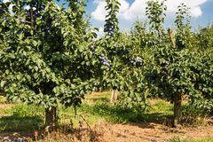 Свежие зрелые голубые фиолетовые сливы на ветви в саде на красивый летний день в западной Германии стоковая фотография rf