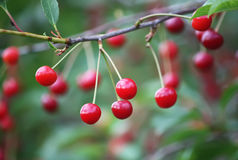 Свежие зрелые вишни на дереве Стоковые Фото