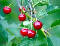 Свежие зрелые вишни на дереве Стоковые Изображения