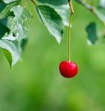 Свежие зрелые вишни на дереве Стоковое Фото
