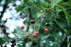 Свежие зрелые вишни на дереве Стоковое фото RF