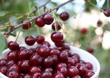 Свежие зрелые вишни на дереве Стоковое Изображение