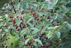 Свежие зрелые вишни на дереве Стоковое Изображение RF
