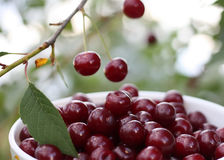 Свежие зрелые вишни на дереве Стоковые Фотографии RF