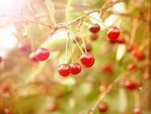 Свежие зрелые вишни на дереве Стоковая Фотография