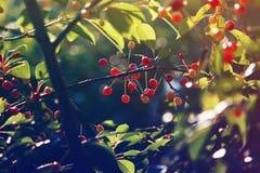 Свежие зрелые вишни на дереве Стоковые Изображения RF