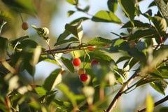 Свежие зрелые вишни на дереве Стоковая Фотография RF