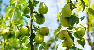 Свежие зрелые груши на дереве Стоковая Фотография RF