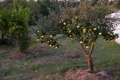 Свежие зрелые зеленые яблоки на дереве в заходе солнца лета садовничают Стоковое Изображение