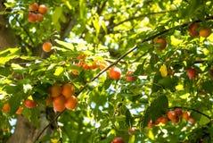 Свежие зрелые оранжевые вишн-сливы вися на ветви дерева в orcha Стоковая Фотография