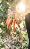 Свежие зрелые органические моркови корней Стоковая Фотография