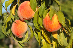 Свежие зрелые персики на дереве Стоковая Фотография RF
