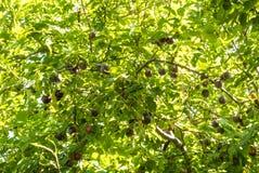 Свежие зрелые фиолетовые вишн-сливы вися на зеленой ветви дерева внутри Стоковые Изображения