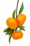 Свежие зрелые tangerines при зеленые листья изолированные на белизне Стоковые Изображения