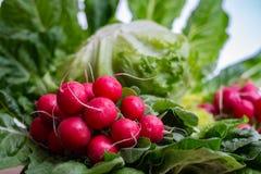 Свежие ингридиенты для редиска и зеленый цвет здорового †салата «красная позволили Стоковые Фотографии RF