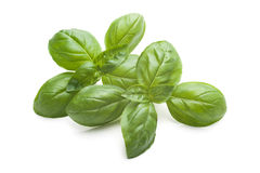 Свежие листья базилика Стоковая Фотография