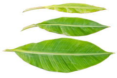 Свежие листья банана. Стоковая Фотография