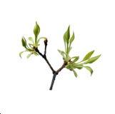 Свежие листья детенышей на ветви Стоковое фото RF
