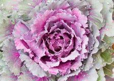 Свежие листья завода капусты белокочанной капусты Стоковые Фотографии RF
