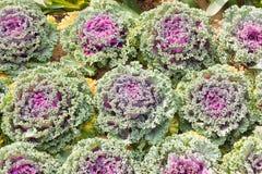 Свежие листья завода капусты белокочанной капусты Стоковое Изображение RF