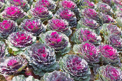 Свежие листья завода капусты белокочанной капусты Стоковая Фотография