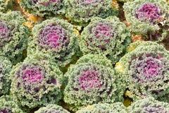 Свежие листья завода капусты белокочанной капусты Стоковое фото RF