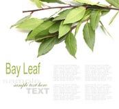 Свежие листья залива Стоковые Изображения RF