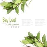 Свежие листья залива Стоковое фото RF