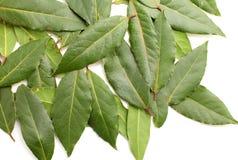 Свежие листья залива Стоковые Фото