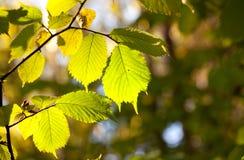 Свежие листья зеленого цвета освещенные по солнцу стоковое фото rf