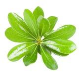 Свежие листья зеленого цвета Стоковое фото RF